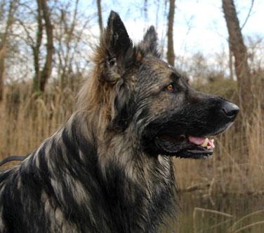 Spike Comme Chiens et Loups - Argenté Charbonné