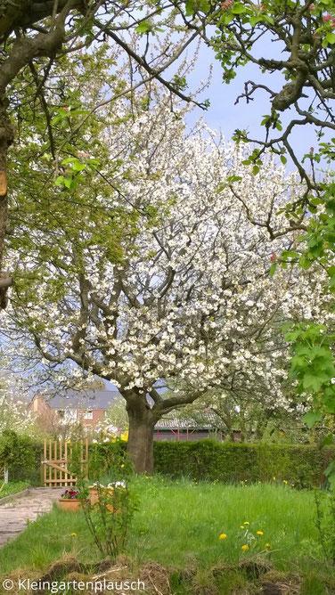 Blick in den Garten mit blühendem Kirschbaum neben dem Gartentor im Hintergrund