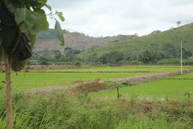 les rizières de Guayaquil (nous revoilà en Asie !!)