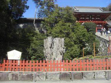 倒れた鶴岡八幡宮の大銀杏の切り株と、新しく育つ若木(右)。右上は拝殿。
