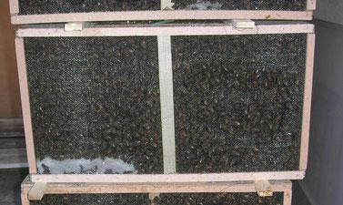 Paquet d'abeilles (environ 1.500 Kg / 15 000 abeilles)