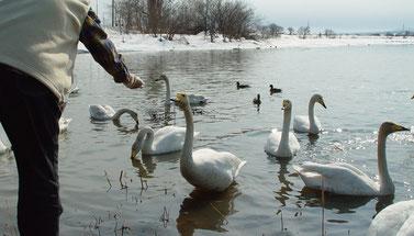 石狩川の氾濫により、湾曲部分が自然に短絡してできた河跡湖の袋地沼にハクチョウが飛来(画像提供:新十津川町)
