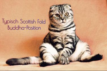 Typische Scottish Fold Buddha-Position, nur Faltohrkatzen oder extrem dicke Katzen sitzen so, weil sie Schmerzen im Rückgrat mindern wollen. Foto: Pixabay