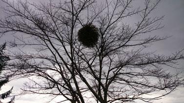 桜の木にもヤドリギがつくって初めて知った