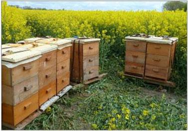 Bienenbeuten am Rapsfeld