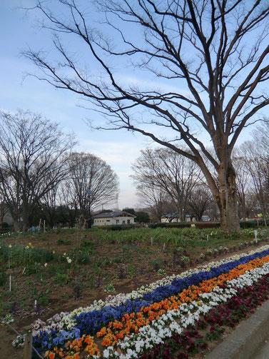 ●小金井公園は驚くほど広大な公園で、迷ってしまうくらいです。花の会が手入れをされている花壇にはスミレがきれいに咲いていました