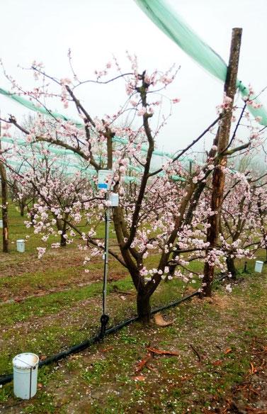 gel, météo, arboriculture, verger, agralis