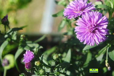 Lila/Violette Knospen und Blüten einer Herbstaster im Sonnenschein von K.D. Michaelis