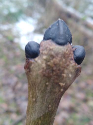 baumknospe der gewöhnlichen esche (fraxinus exelsior)