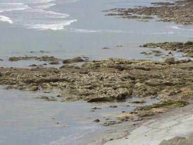 白くポツポツ見えるのが牡蠣の殻でここに乗るとスパッと切れます(T_T)