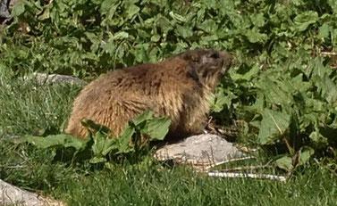 Marmottes - Villard de Lans
