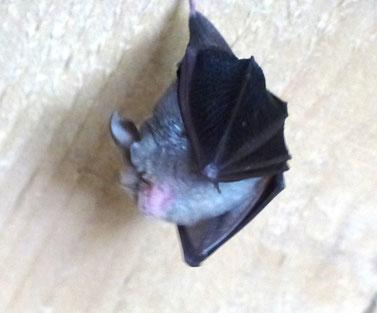 Pipistrelle commune - Rémuzat