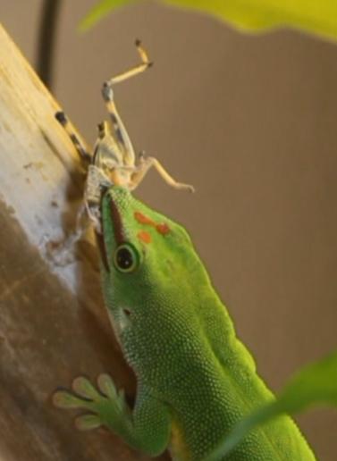 Phelsuma grandis Männchen beim Fressen einer Heuschrecke