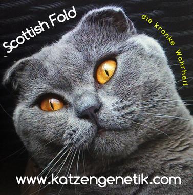 Faltohr-Katze, Scottish Fold, die Krankheit Osteochondrodysplasie vererbt sich mit einem einzigen Allel für Faltohren (OCD/-)