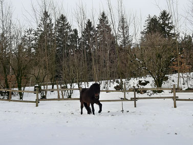 Njördur kennt Schnee ja aus Island - die Fohlen haben in diesem Winter noch nicht viel davon gesehen...  Fotos Steffi. E.
