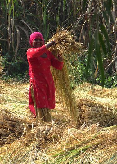 Geerntet wird der Reis vielfach von Hand. Das Dreschen ebenso, überwiegend von Frauen.