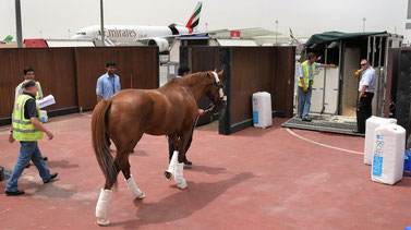 The transport of life horses has grown into an important niche for Emirates SkyCargo  -  photos courtesy EK