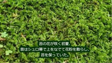 シュロ帚でなでて花粉を散らし、苔を保っていた