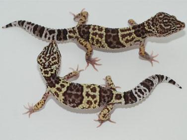 "Foto © M. Hajdas ""Ultimate Geckos"""