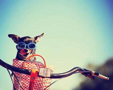 Hund mit Brille im Fahrradkorb