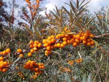 Sanddorn mit orangen Früchten - viel Vitamin C, gesund