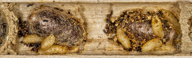 Rote Mauerbiene Kokon Brutzelle Cacoxenus indagator Taufliege