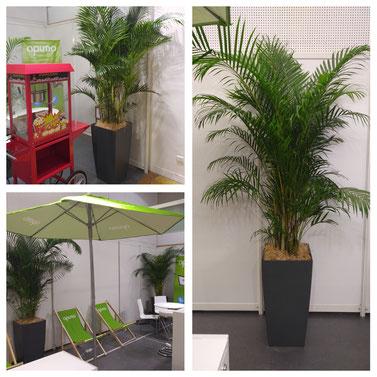 Location de plantes pour vos événements à Paris: Palmiers