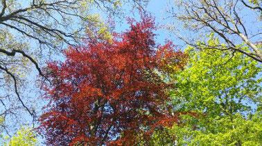 Boomkruinen vanonderuit gefotografeerd, een rode beuk, frisse groene andere kruinen, en een stralend blauwe lentelucht erachter.