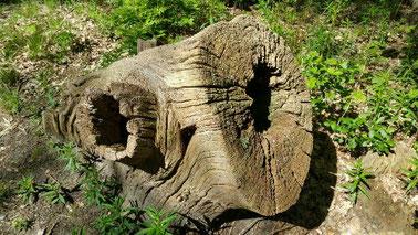 Een oeroude boomstronk met de stam e n een zijtak, die allebei hol zijn en verweerd in het licht van een lentezon