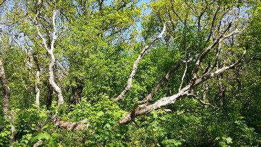 Een uitelkaar gevallen groep bomen in een heldergroen gekleurd lentebos in Castricum