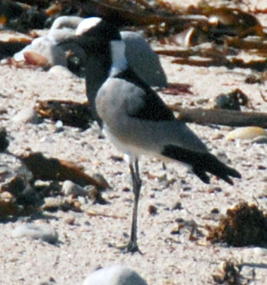 Blacksmith Lapwing or Plover at Stony Point.
