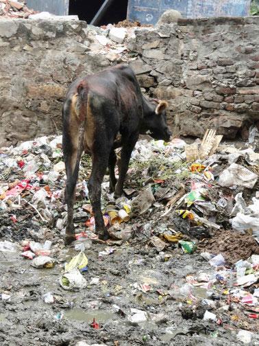 Kühe fressen Müll, Indien, Reisebericht