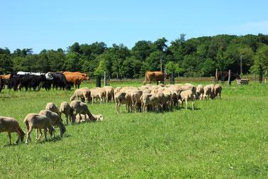 Notre troupeau de brebis laitières est certifié en agriculture biologique