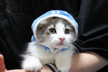 大阪 ノルウェージャンフォレストキャット 子猫
