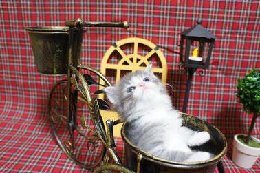 ノルウェージャン子猫 1番ちゃん⑥
