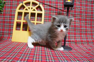 ノルウェージャン子猫 1番ちゃん⑤