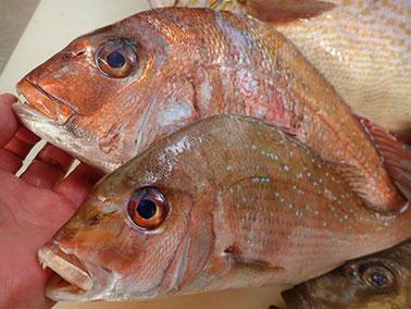 天然真鯛の寿司