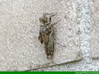 11.55 uur. De larf heeft zich aan de muur vastgehecht.