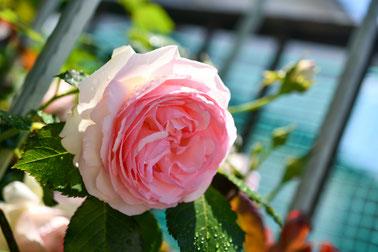 小牧 はり 鍼灸 治療 頭痛 まめい 吐き気 自律神経 過敏性腸症候群 失調症 整体 バラ 薔薇