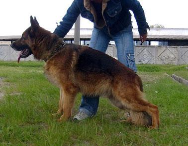 Продам щенка, собаку породы Немецкая овчарка.