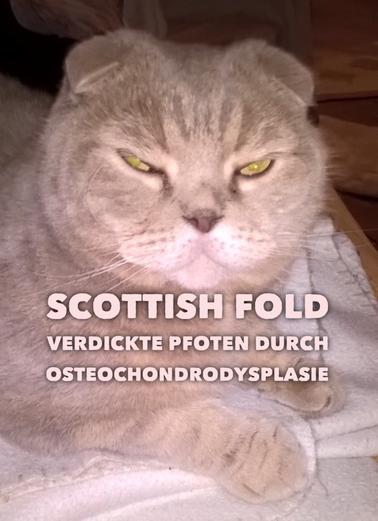 Smoky, 6jähriger Scottish Fold Kater mit verdickten Pfoten durch Osteochondrodsplasie