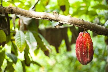 Cacao-Pflanze Trinidad Tobago, Karibik, Karibische Inseln