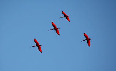 Caroni Bird Sanctuary Trinidad Tobago, Karibik, Karibische Inseln