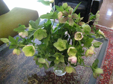 そろそろクリスマスローズも終わりです。5種類咲きます。