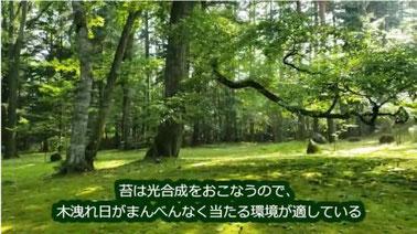 苔は光合成を行うので木漏れ日が適している