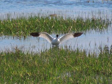 Säbelschnäbler Recurvirostra avosetta - Pied avocet Sabine Rümenap wildes Ostfriesland Vögel