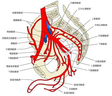 骨盤腔内の血管