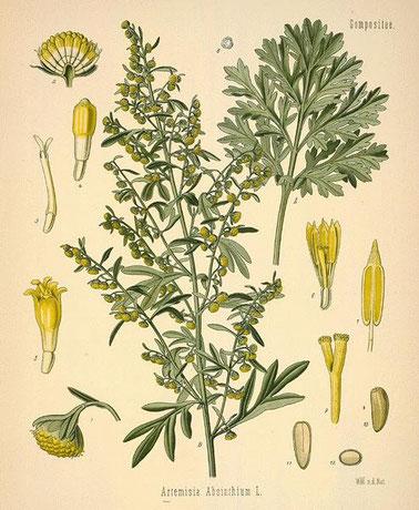 Artemisia absinthium - wormwood plant