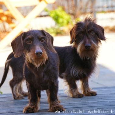 Hunde - Rauhaardackel