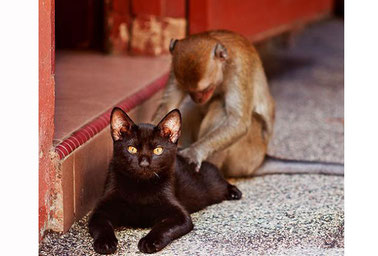 A photo of a cat receiving a massage from a monkey.